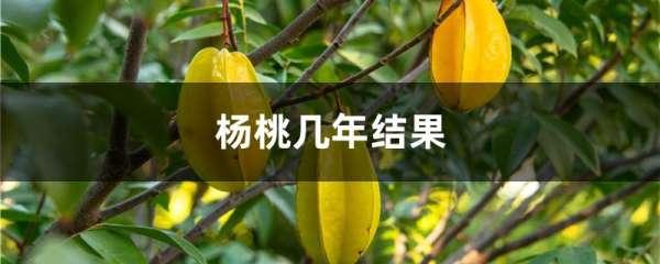 杨桃几年结果