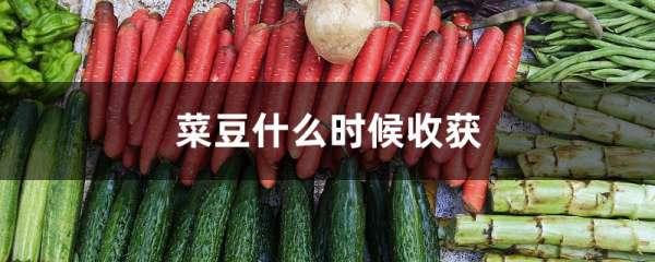 菜豆什么时候收获