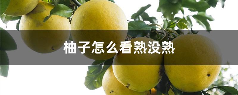 柚子怎么看熟没熟